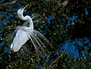 great white egret displaying feathers head raised small by SteveB in Member Albums