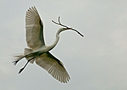 great white egret in flight with a stick photium by SteveB in Member Albums