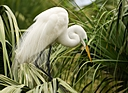 great white egret in reeds photium by SteveB in Member Albums