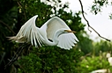 great white egret takes off small by SteveB in Member Albums