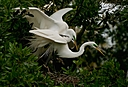 great white egrets caught in the act photium by SteveB in Member Albums
