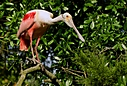 roseate spoonbill close up on branch photium by SteveB
