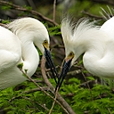 Snowy Egrets Building their nest by SteveB in Member Albums