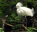 snowy white egret close up two photium by SteveB in Member Albums