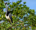 tri color heron on bush looking right small by SteveB in Member Albums