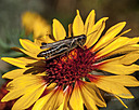 Grasshopper on flower by sfaribault in Member Albums
