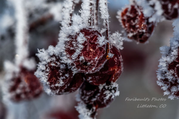 Frosted Berrys by sfaribault in Member Albums