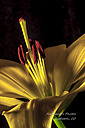 Yellow Lilly by sfaribault in Member Albums