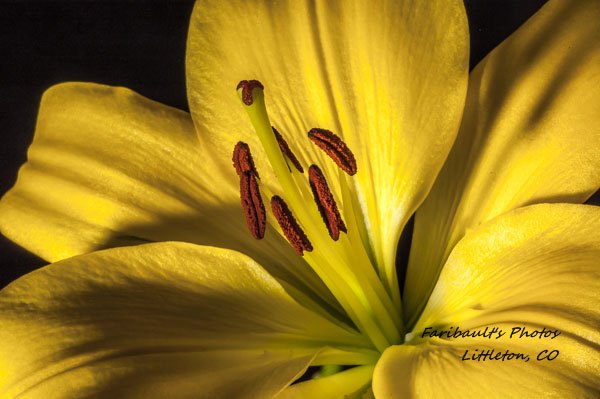 Yellow Lilly 1 by sfaribault in Member Albums
