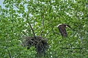 Bald Eagle by sfaribault in Member Albums