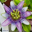 passion flower 1 by Marcel in Member Albums