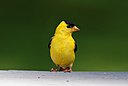 American Goldfinch by 10 Gauge in Member Albums