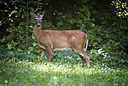 Deer by 10 Gauge in Member Albums