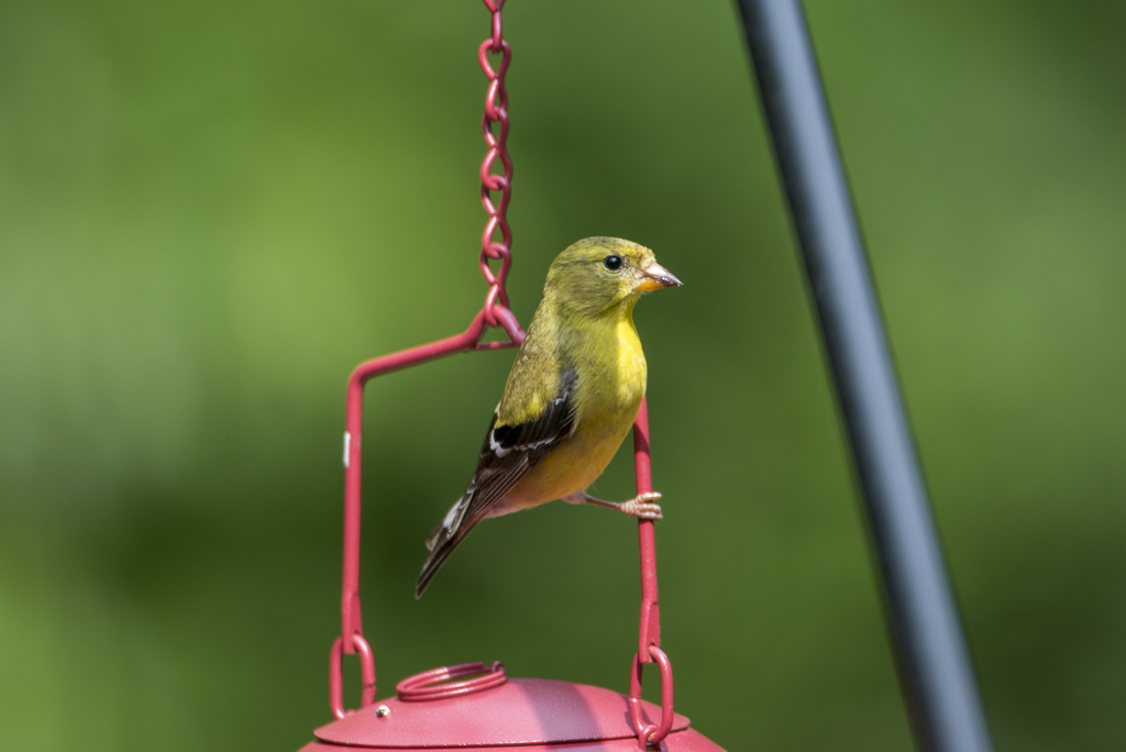 Goldfinch by 10 Gauge in Member Albums