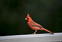 Cardinal by 10 Gauge in Member Albums