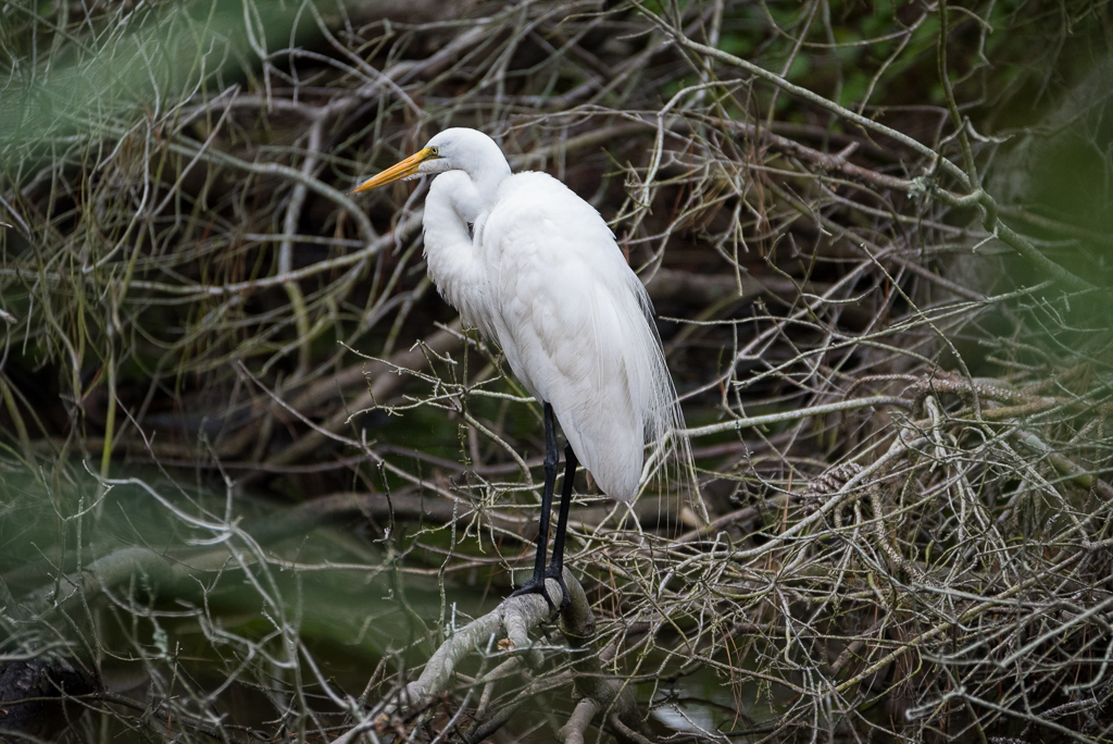 Great Egret by 10 Gauge in Member Albums