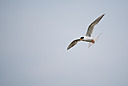 Gull by 10 Gauge in Member Albums