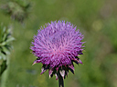 Purple Thistle Flower by BobB in Member Albums