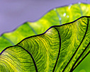 Leafy Green by dlwilliams48 in Member Albums