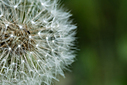 dandy lion by RobHD in Member Albums