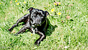 10yr old staffie by RobHD in Member Albums