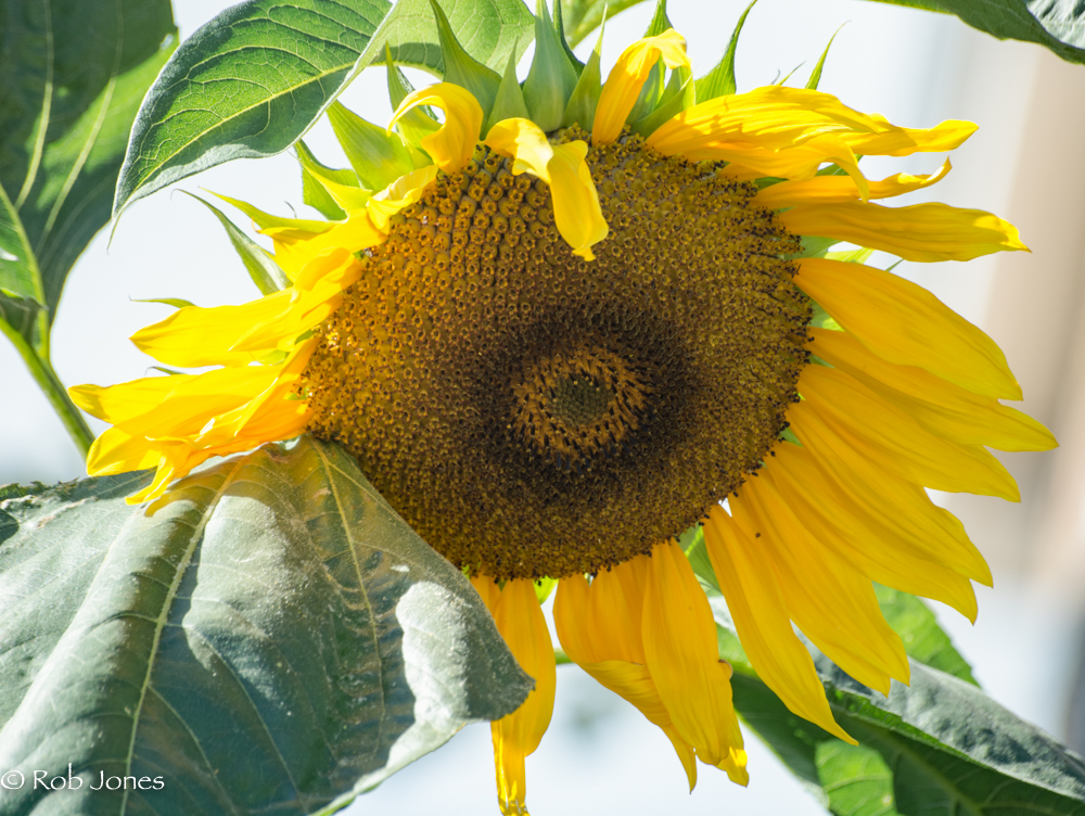 sunflower by RobHD in Member Albums