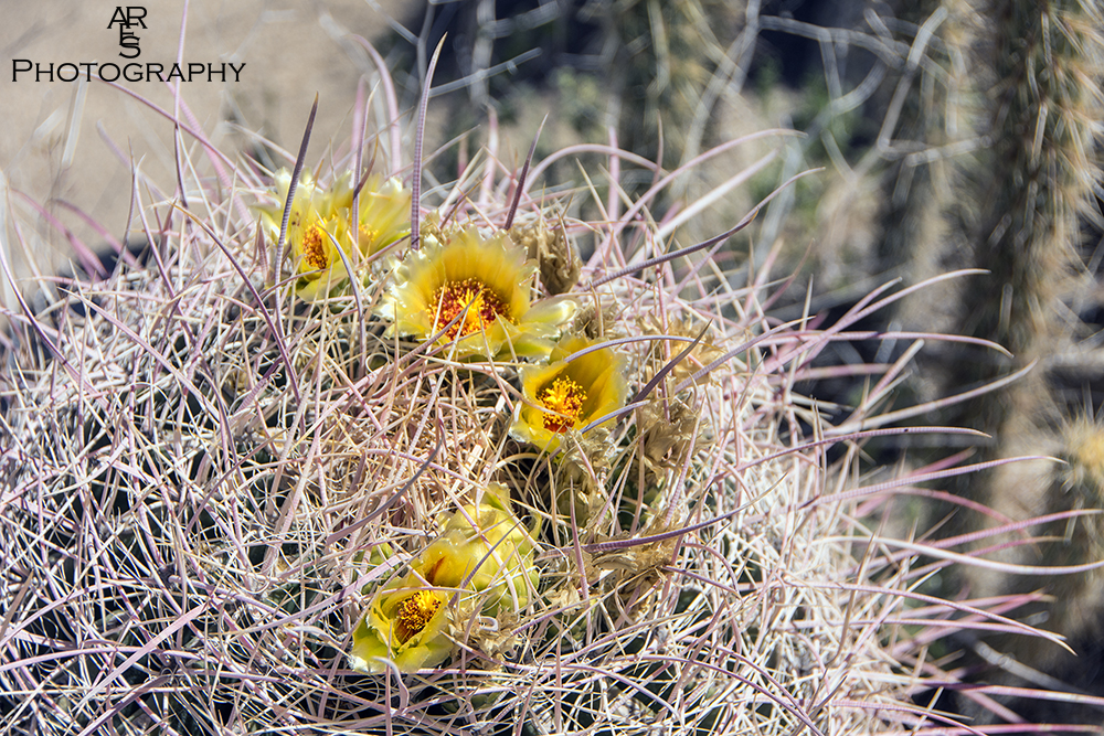 Barrel Cactus Flowers by Bikerbrent in 2017 Anza-Borrego Trip