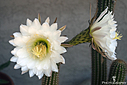 cactus flower 181586 by Bikerbrent in Member Albums