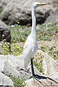 egret by Bikerbrent in Member Albums