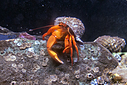 Hermet Crab by Bikerbrent in Member Albums