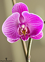 Home Grown Orchid