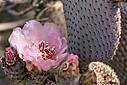 Pink Cactus Flower by Bikerbrent in 2017 Anza-Borrego Trip