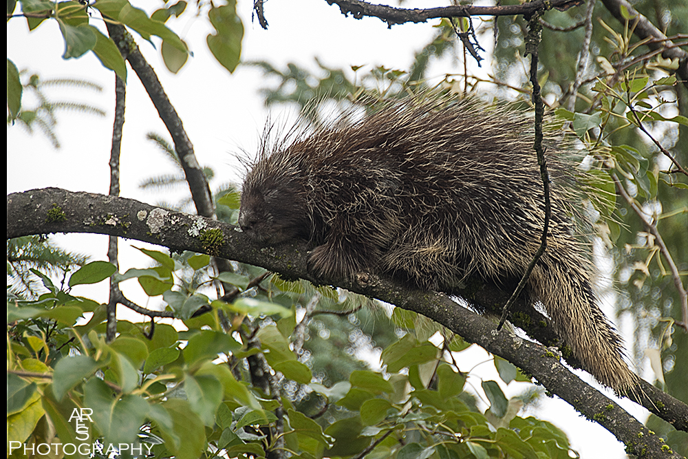 Porcupine by Bikerbrent in Member Albums