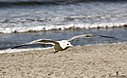 Seagull by Bikerbrent in Member Albums