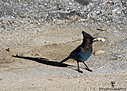 Steller Jay by Bikerbrent in Member Albums