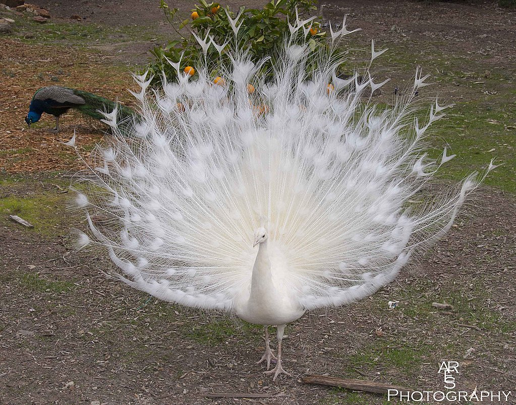 White Peacock by Bikerbrent in Member Albums