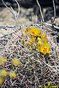 Yellow Cactus Flower by Bikerbrent in 2017 Anza-Borrego Trip
