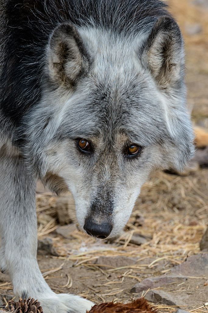 Rocky Mountain Timber Wolf by csgaraglino in Member Albums