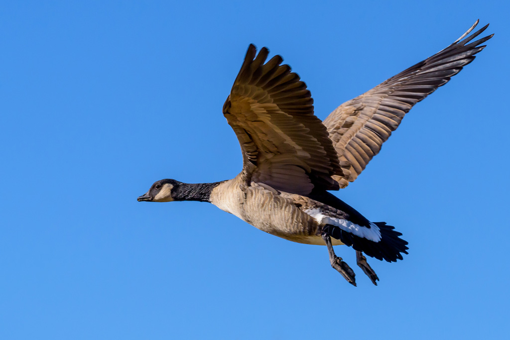 Canadian Goose by csgaraglino in Member Albums