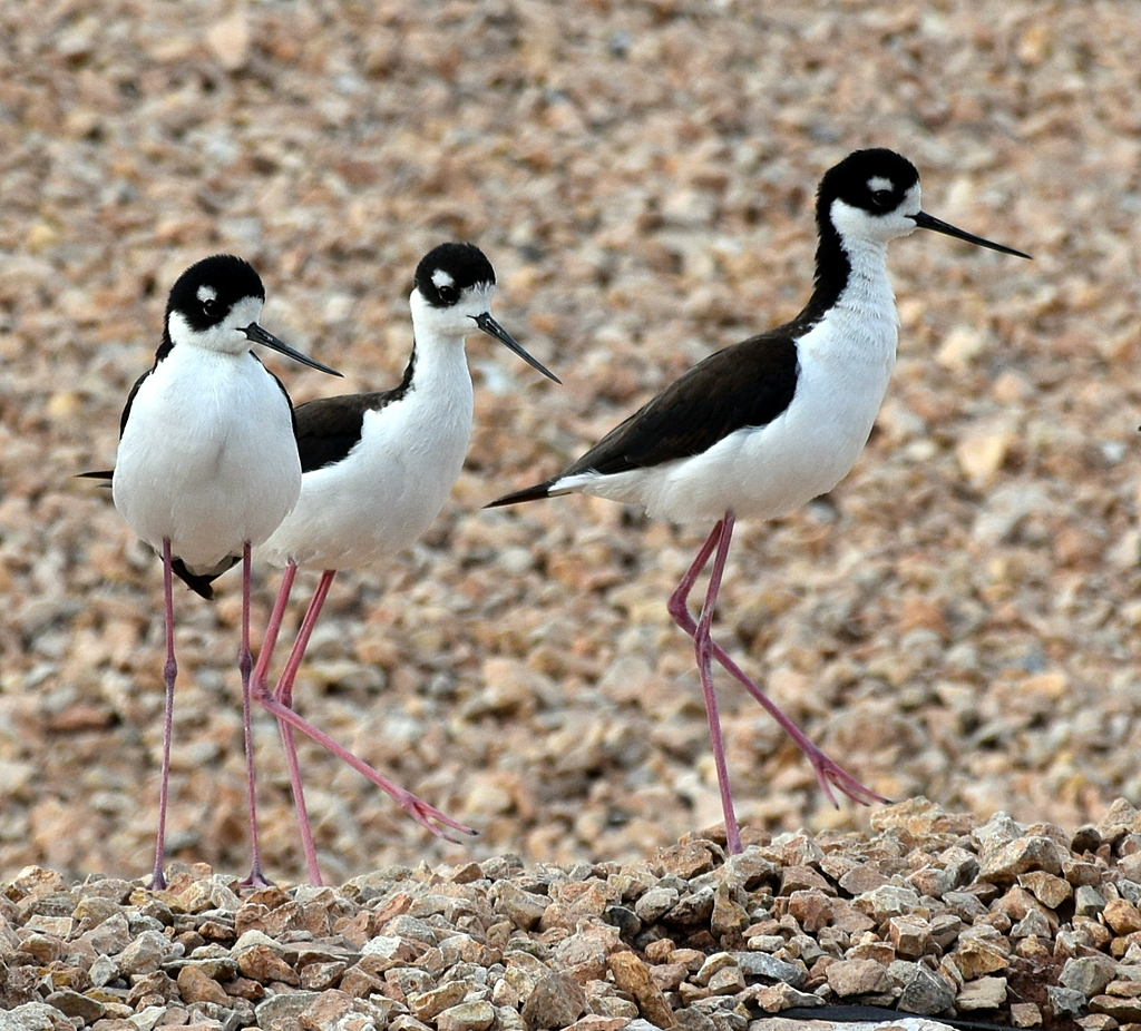 Black neck Stilts by Shoknaw in Member Albums