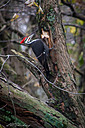 Woodpecker1 by shockrocks in Member Albums