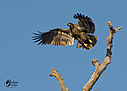Bald Eagle by snj979s in Member Albums