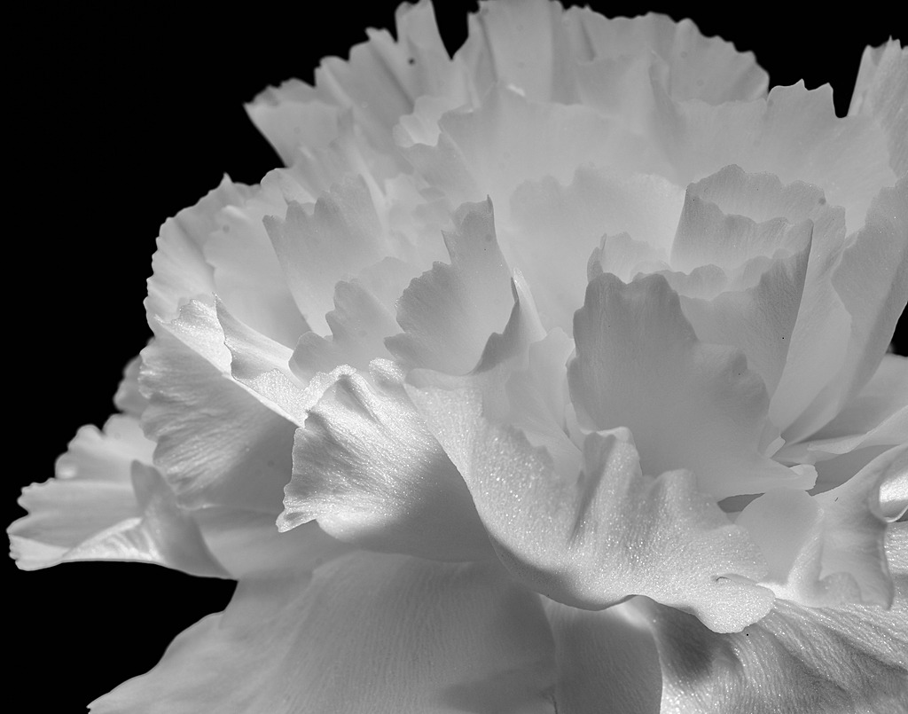 Mothers Day Carnation by IvanB in Member Albums