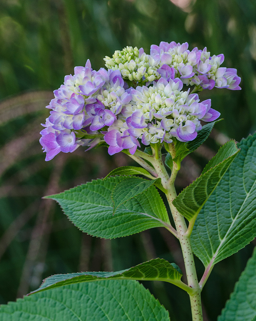 Hydrangea blooming by IvanB in Weekly Photo Challenges