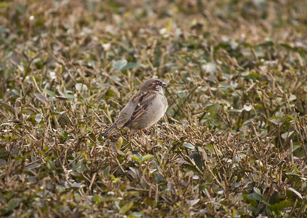 Small Sparrow by Big E in Small Birds