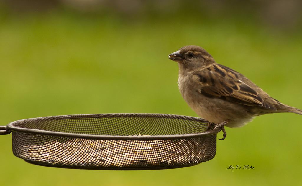 Sparrow Feeding by Big E in Small Birds