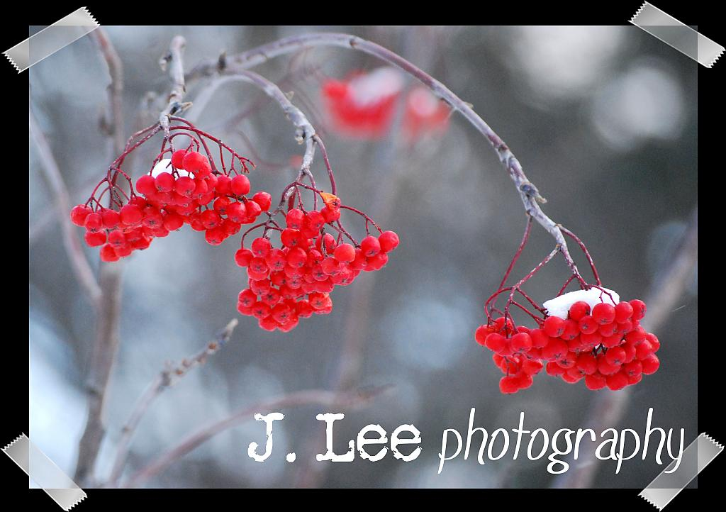 Berries (2009) by jleephotog in Member Albums