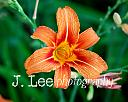 Tiger Lily (2010) by jleephotog in Member Albums