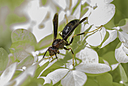Cheeky Wasp by HDouble in Member Albums
