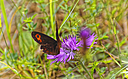 Red butterfly on purple thistle by johndapps in Member Albums